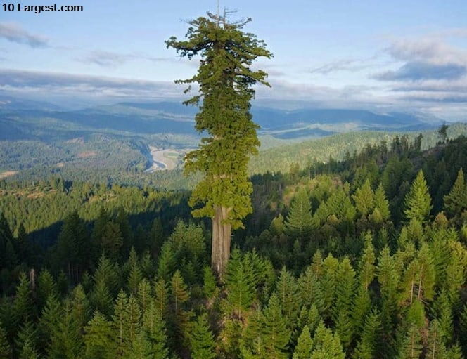 Hyperion - Largest tree