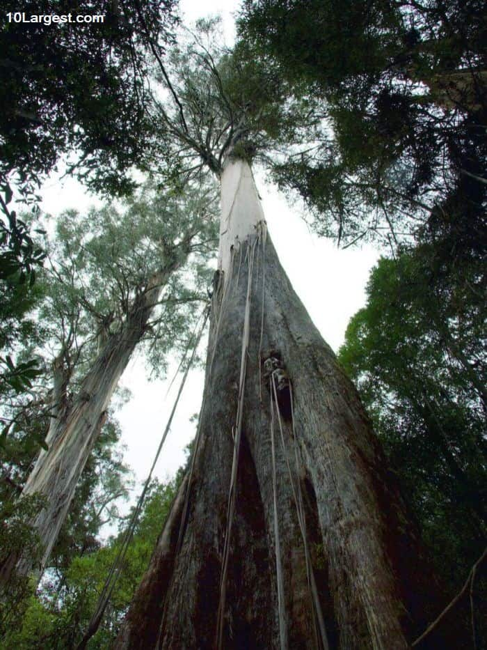 Centurion - one of the largest trees in the earth