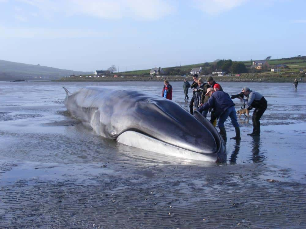 Finback Whale - second largest whale