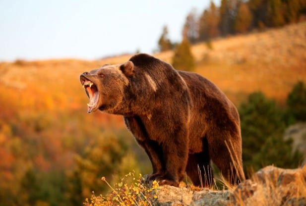 Grizzly Bear - another large bear breed in earth