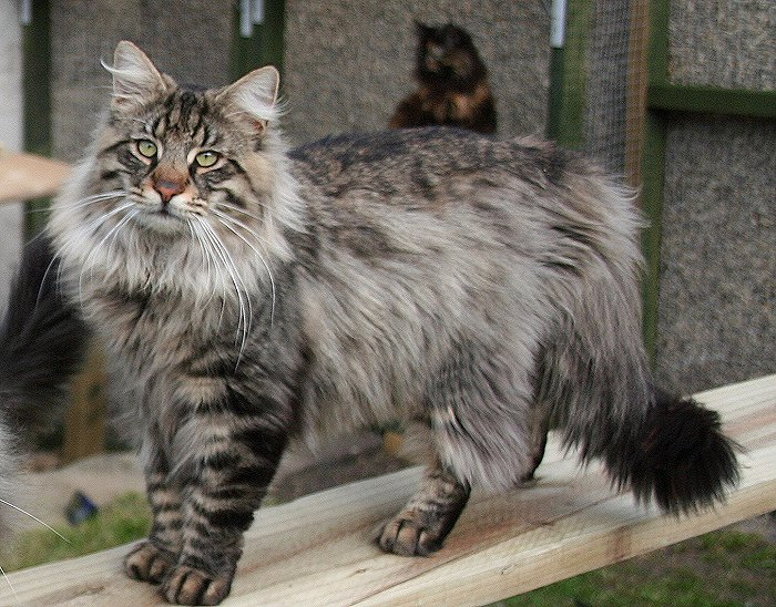 Norwegian Forest Cat - another very large cat breed