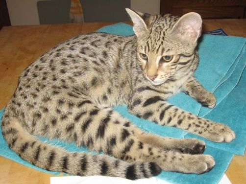 Safari Cat Breed