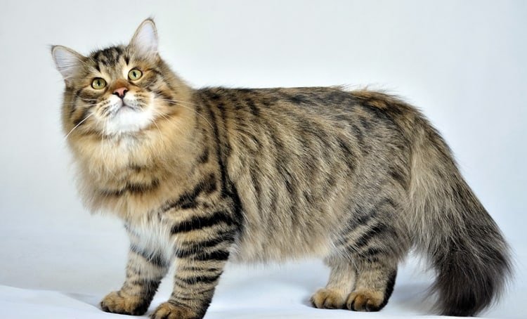 Siberian cats - large cat breed