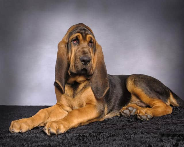 Bloodhound - one of the largest dog breed in the world