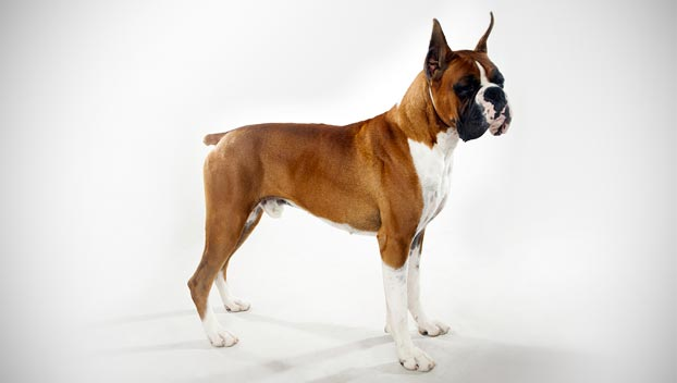 boxers dog breed