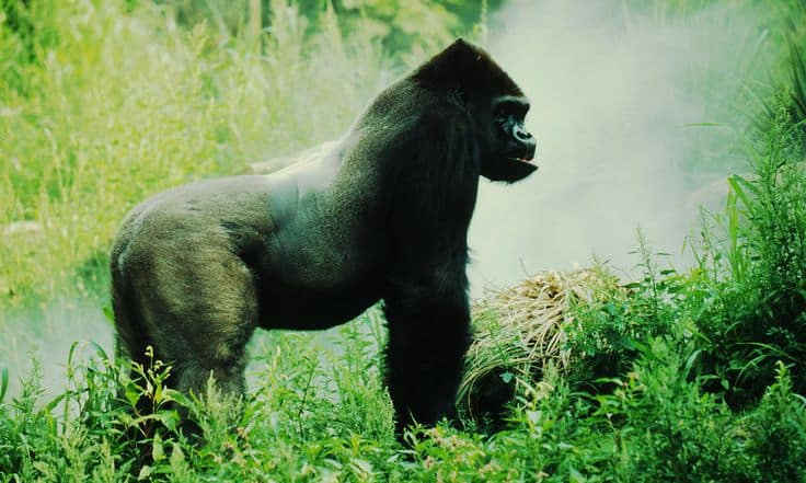 The eastern lowland gorilla