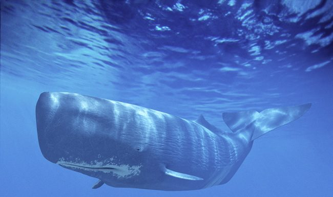Great Whale - world's largest animal