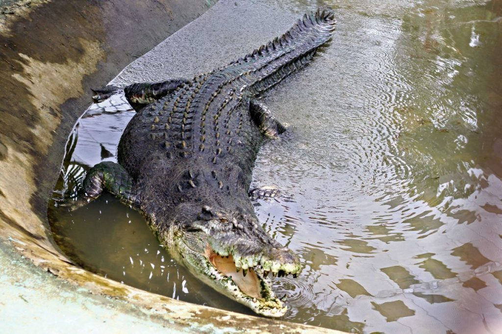 lolong biggest crocodile ever