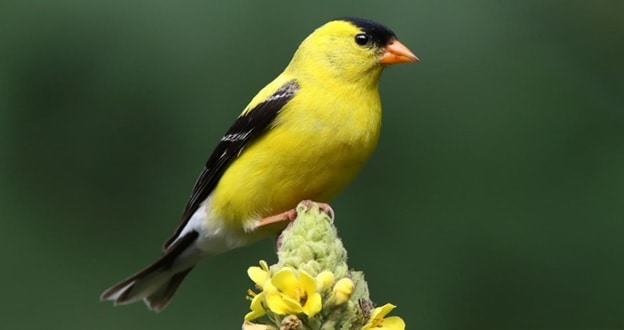 American Goldfinch with Black Head