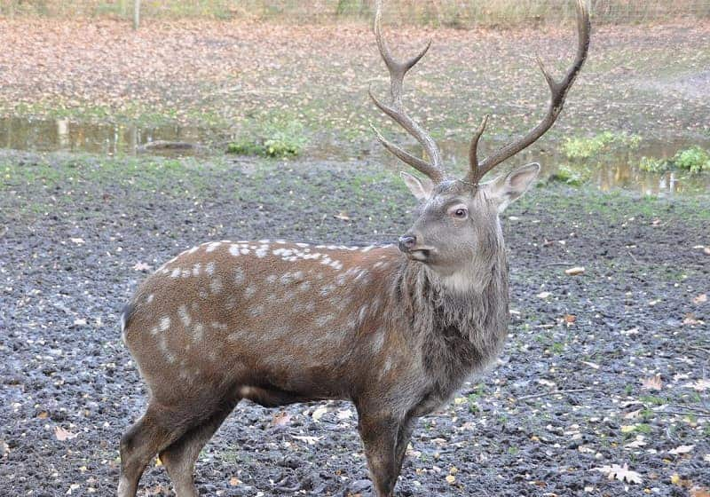 animal with antlers