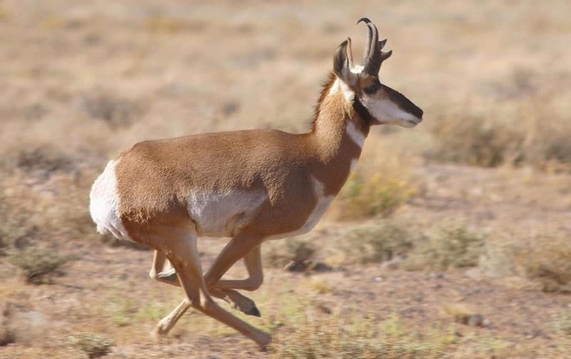 American Antelope with antlers