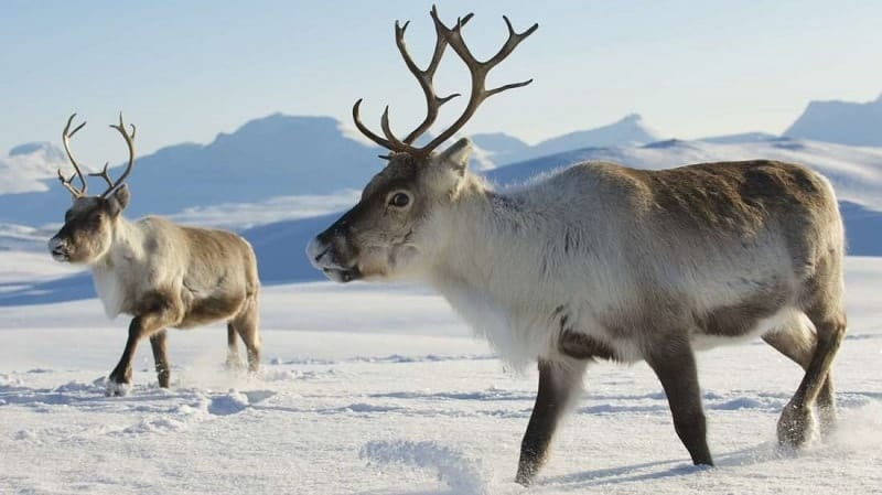 Animals with antlers- Reindeer