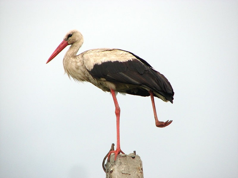 Stork - bird with long beak
