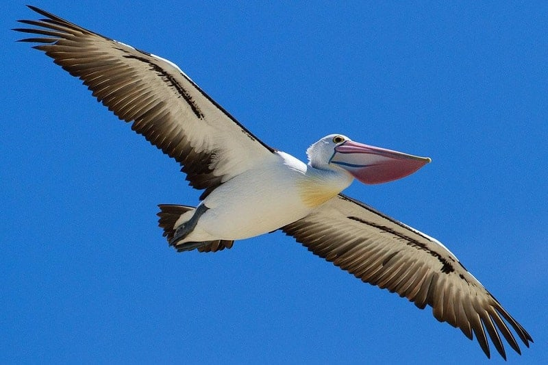 Australian Pelican- birds with big beaks