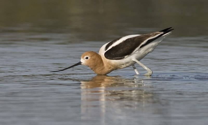 American Avocet with long beak