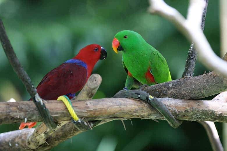 Eclectus The Talking Parrot