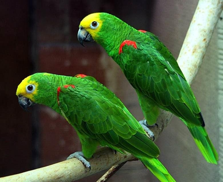 Talking Yellow Crowned Amazon Parrot