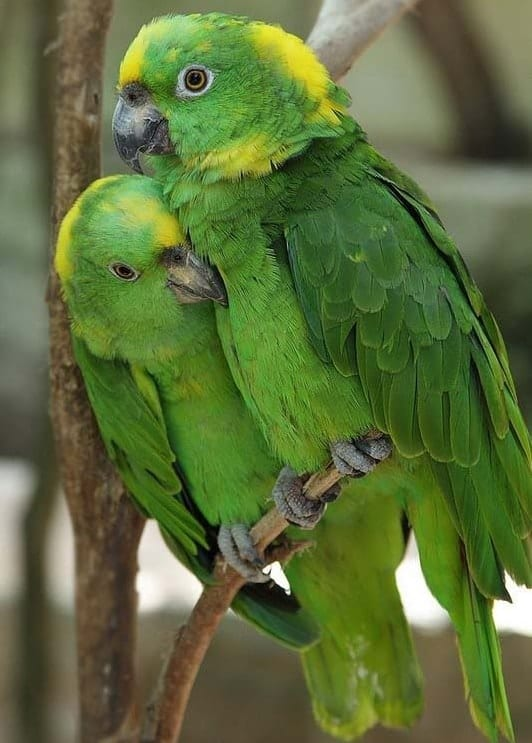 Yellow Naped Amazon Parrot that Can Talk