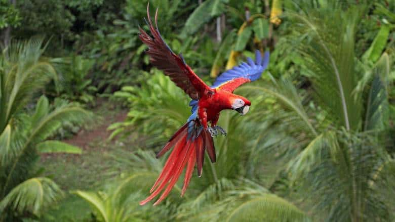 Macaws - Speaking Parrot