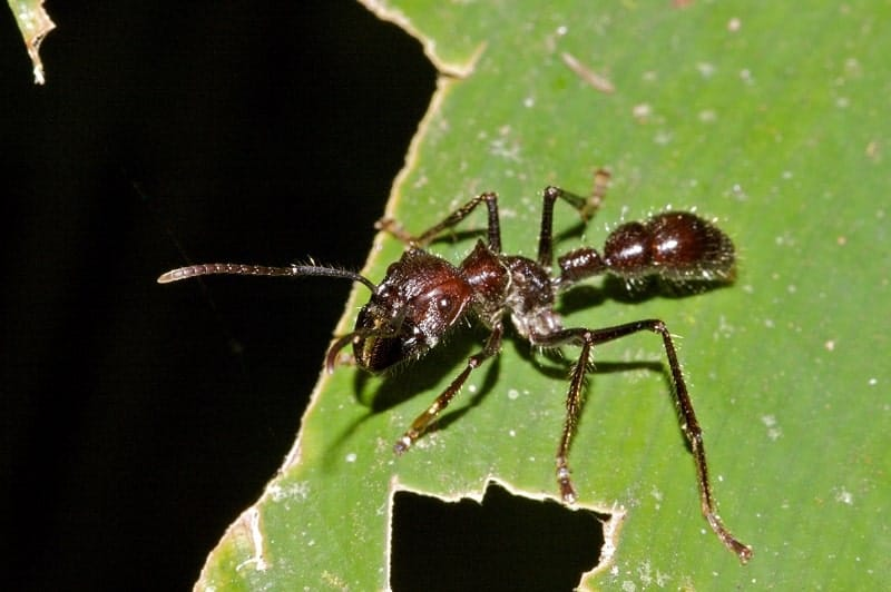 Bullet Ant - Most Painful Insect Stings