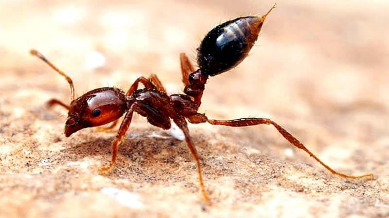Fire Ant -most painful stings