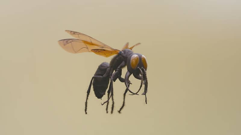 Warrior Wasp's painful sting